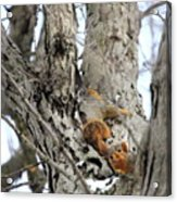 Squirrels At Play Vertically Acrylic Print