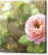 St. Cecilia Shrub Rose, Pink Rose Originally Produced By The Br Acrylic Print