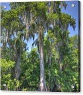 St. Johns Cypress Acrylic Print