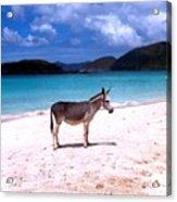 St. John's Wild Donkey Acrylic Print