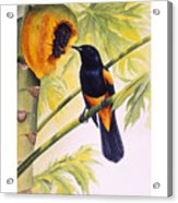 St. Lucia Oriole And Papaya Acrylic Print