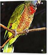 St Lucia Parrot Acrylic Print