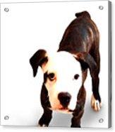 Staffordshire Bull Terrier Puppy Acrylic Print by Michael Tompsett