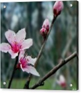 Stages Of Spring Acrylic Print