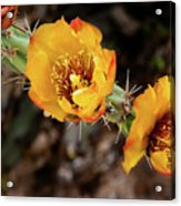 Staghorn Cactus Blossons Acrylic Print