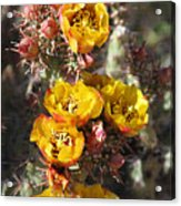 Staghorn Cholla Blossoms Acrylic Print