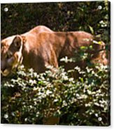 Stalking Big Cat Acrylic Print