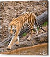 Stalking Tiger - Bengal Acrylic Print