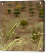 Stalks Blown By The Wind Acrylic Print
