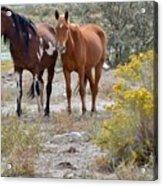 Stallion And Mare Acrylic Print