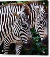 Stallions Acrylic Print
