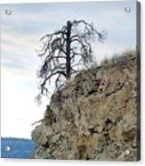 Stalwart Pine Tree Acrylic Print