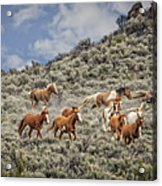 Stampede In The Sage Acrylic Print