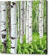 Stand Of Birch Acrylic Print