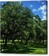 Stand Of Oaks Acrylic Print