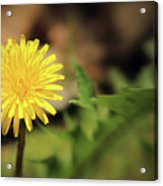 Stand Out - Dandelion Acrylic Print