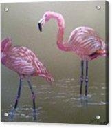 Standing Flamingos Acrylic Print