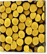 Staphylococcus Capitis Bacteria, Sem Acrylic Print