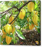 Star Fruit Belongs To The Plant Family Acrylic Print