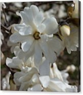Star Magnolia Blooms Acrylic Print