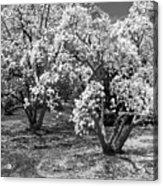 Star Magnolia Trees Acrylic Print