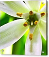 Star Of Bethlehem Grass Lily Acrylic Print