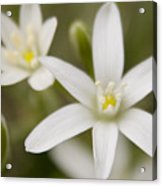 Star Of Bethlehem Acrylic Print by Margaret Denny