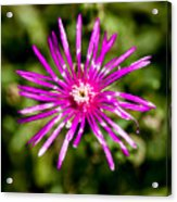 Starburst Of The Wildflowers Acrylic Print