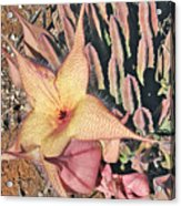 Starfish Cactus Acrylic Print