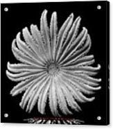 Starfish Transparency Acrylic Print