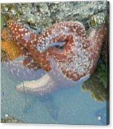 Starfish Sandwhich Acrylic Print