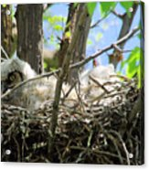 Staring From Its Nest Acrylic Print