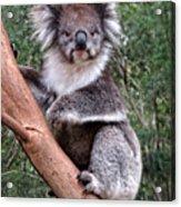Staring Koala Acrylic Print
