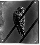 Darling Starling 2 Bnw Acrylic Print