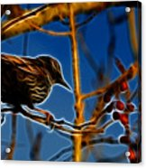 Starling In Winter Garb - Fractal Acrylic Print
