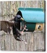 Starling On Bird Feeder Acrylic Print