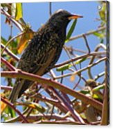 Starling With Sparrow Looking On Acrylic Print