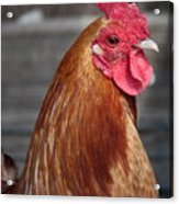 State Fair Rooster Acrylic Print