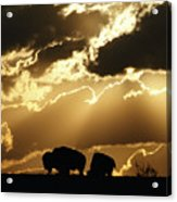 Stately American Bison Acrylic Print