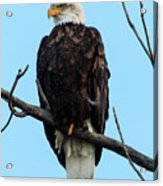 Stately Eagle Acrylic Print