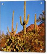 Stately Saguaros Acrylic Print