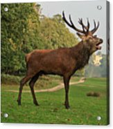 Stately Stag Acrylic Print