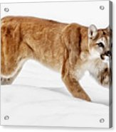 Stealth In The Snow Acrylic Print