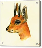 Steenbok Acrylic Print