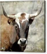 Steer Bull Acrylic Print