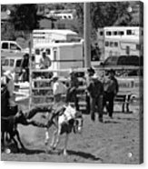 Steer Wrestling Acrylic Print