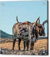 Steers In The Desert Acrylic Print