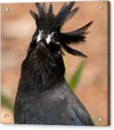 Stellar's Jay With Rock Star Hair Acrylic Print