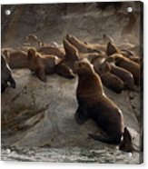 Stellers Sea Lions Eumetopias Jubatus Acrylic Print