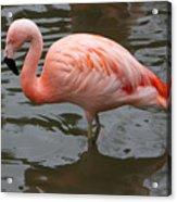 Stern Flamingo Acrylic Print